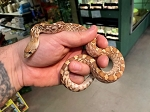 BULL SNAKE, CHRISTMAS MOUNTAIN MALE #1 - CB 2020, Pituophis catenifer sayi (Produced at Reptile Rapture)